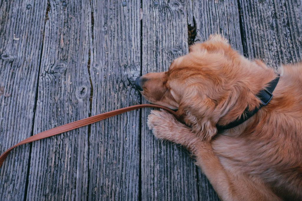 Dog Laying on Dock